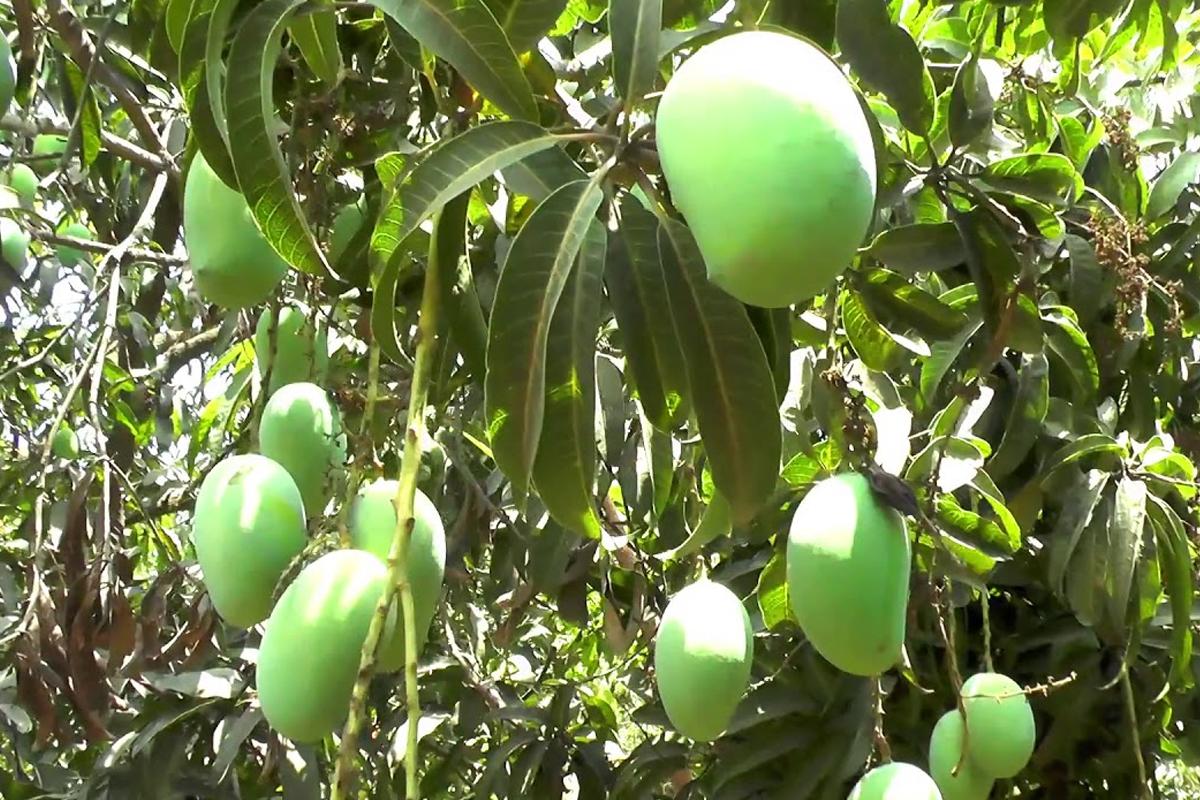 Kesar Mango3