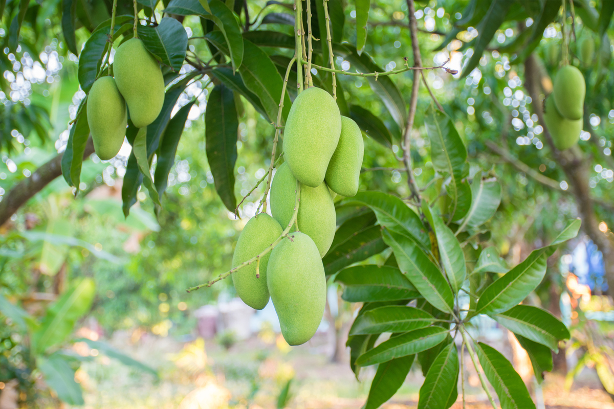 Mango Totapuri