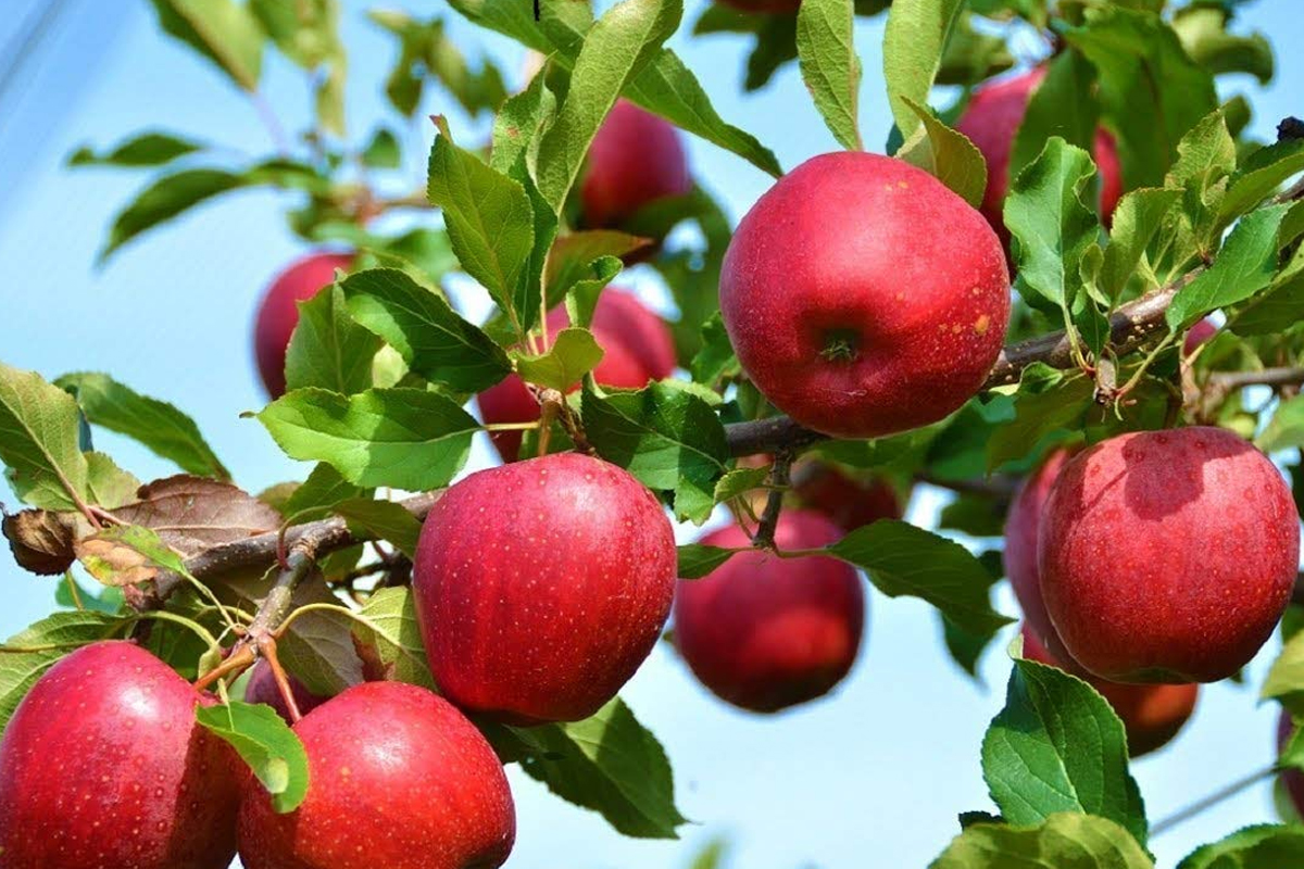 apple2