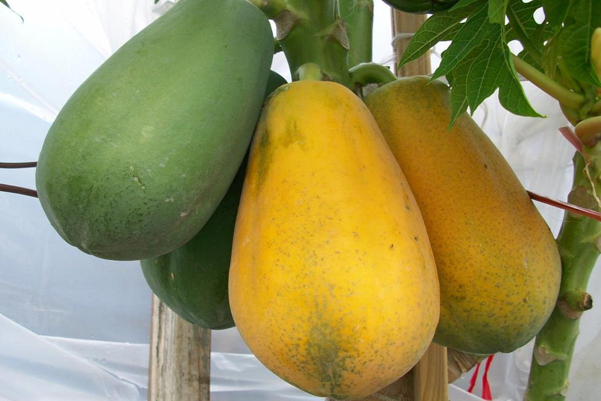 papaya3